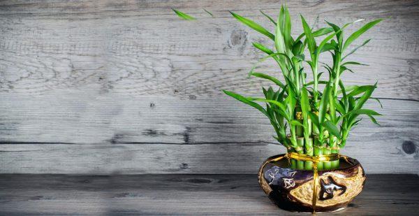گیاه بامبو به نور بسیار اندکی برای رشد نیاز دارد و باید در جایی با نور غیر مستقیم نگهداری شود. این گیاه به خاک احتیاجی ندارد و باید ساقه ها را درون ظرفی شیشه ای با مقداری سنگ ریزه قرار دهید و داخل آن را آب بدون کلر ولرم پر کنید به اندازه ای تا بند پنجم ساقه بالا بیاید. آب گلدان را هر دو تا چهار هفته یکبار عوض کنید. در نظر داشته باشید که این گیاه رشد سریعی دارد و شما میتوانید سرعت رشد گیاه را با قرار دادن یک مانع فیزیکی بر سر راه آن مانند یک قفسه کم کنید و یا هرس و شکل دهی منظم گیاه را انجام دهید.
