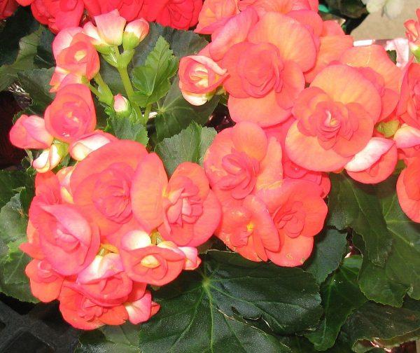 بگونیا (نام علمی: Begonia)، سردهای از گیاهان پایا و گلداراز تیره بگونیا است. این گونه شامل ۱۷۹۵ گونه مختلف گیاهی است. بگونیا بومی آب و هوای نیمهگرمسیری و گرمسیری مرطوب است. بهطور معمول بعضی از گونهها در هوای سرد و داخل خانهها به عنوان گیاه خانگی و زینتی رشد میکنند.