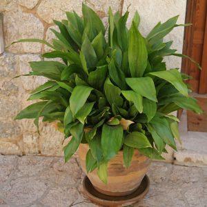 این گیاه به طرز شگفت آوری سرسخت است و حتی اگر به آن توجهی نکنید هم به رشد و نمو خود ادامه می دهد. گیاه برگ عبایی می تواند در نور کم ، آبیاری نامنظم و گرمای شدید طاقت بیاورد. برای گرفتن بهترین نتیجه در نگهداری گیاه برگ عبایی باید آن را در مکانی با نور کم تا متوسط قرار دهید و از تابش نور مستقیم آفتاب دور نگه دارید. گیاه برگ عبایی را به صورت منظم آبیاری کنید و قبل از آبیاری مجدد توجه کنید که خاک خشک شده باشد.
