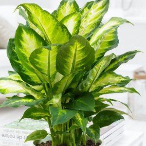 دیفنباخیا (نام علمی: Dieffenbachia) نام یک سرده از خانوادهٔ گلشیپوریان (آراسه) است. این گیاه بومی آمریکای استوایی است. ساقههای سادهٔ آن سرتاسر پوشیده از برگهای غلافیِ رنگارنگ و خالدار است.