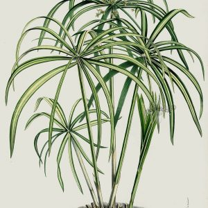 نَخل مُرداب (نام علمی: Cyperus alternifolius) گیاهی است از تیره جگنیان (Cyperaceae) از جنس مردابیها (Cyperus). این گیاه علفی بومی باتلاقهای ماداگاسکار و از خویشان نزدیک پاپیروس مصر هاست.[۱] این گیاه پنجه کلاغی هم نامیده میشود. این گیاه در مناطق باتلاقی و مردابی مخصوصاً کنار جوی و کانالهای دفع پساب میروید. گیاه پایای همیشه سبز با بلندی ۳۰ تا ۹۰ سانتیمتر که در محیط مناسب، ارتفاع آن به ۱۵۰ سانتیمتر هم میرسد.ساقههای سبز رنگ عمودی افراشته این گیاه به جز در رأس بدون برگ هستند که در رأس نیز دایرهای از برگچههای سبز علفی به صورت شعاعی مثل قاب یک چتر بیرون میزنند. علاوه بر این در تابستان گلها نیز به صورت شعاعی در رأس بیرون میزنند ولی این گلها کوچک و قهوهای رنگند. نخل مرداب را میتوان به راحتی از اواسط بهار تا اوایل تابستان با روش تقسیم بوته، تکثیر کرد. البته راحتی این کار، بستگی به تجربه و توان شخص تکثیرکننده دارد. از آنجایی که این گیاه طبیعتاً به وسیله قرار گرفتن در آب رشد کرده و ریشه میدهد، خاک آن باید کاملاً مرطوب باشد، ولی اگر به اندازه کافی خیس نبود، ابتدا باید آبیاری شده، سپس از گلدان بیرون آورده شود. با استفاده از یک چاقوی تیز، انبوه ریشهها به دستههایی با حداقل ۴ یا ۵ ساقه تقسیم میشود، سپس هر قسمت در گلدانی با قطر دهانه ۱۱–۹ سانتیمتر حاوی کمپوست گلدانی با پایه پیت قرار گرفته و کاملاً آبیاری میشود. گرچه روش تقسیم برای تمام انواع نخل مردابها به کار برده میشود ولی این گیاه میتواند به روشهای غیرمعمول دیگری نیز تکثیر شود. در گیاه نخل مرداب رأس گل را همراه با برگههایی که زیر گل وجود دارند به وسیله قیچی باغبانی به اندازه یک سوم یا یک دوم کوتاه میکنند، گیاه از زیر قسمت برگ قطع شده و به صورت وارونه (برگ داخل آب باشد)، در آب یا در ماسه نرم شسته یا کمپوست مخصوص بذر و قلمه مرطوب قرار میگیرد (ساقه به طرف بالا و قسمت برگدار درون آب یا خاک قرار گیرد). زمانی که ریشه داد، گیاه به گلدانی با قطر دهانه ۹ سانتیمتر و کمپوست گلدانی منتقل میشود. در طول عمل تکثیر، دمای محیط گیاه را ۲۲–۲۰ درجه سانتیگراد نگاه داشته شده و گیاه در شرایط نور مناسب و کافی، دور از تابش مستقیم خورشید قرارمیگیرد. بعد از ریشه دادن به گلدانهای استکانی منتقل میشود. نگهداری گلدان در آپارتمان: دما در زمستان نبایستی در دمای ک