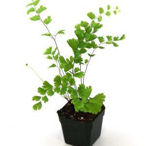 لایه بندی مناسب برای نگهداری از گیاه پرسیاوشان ، از استفاده از خاک معمولی خودداری کنید و در عوض بهتر است از یک بستر با کیفیت بالا استفاده کنید که این لایه باید غنی از مواد مغذی بوده و علاوه بر این دارای مقادیرمناسب ذغال سنگ نارس نیز باشد تا پایه ای سبک و سست برای گیاهتان فراهم آورد . در صورتی که خواهان استفاده از خاک معمولی هستید ، بهتر است مقداری شن و ماسه به آن اضافه کنید ، خاک رس ثبات بیشتری به خاک می بخشد و رطوبت آن را تا مدت زمان بیشتری حفظ می کند. آبیاری هرچه رطوبت محیط بیشتر باشد، گیاه مورد نظر نیازمند آبیاری کمتری خواهد بود و در صورتی که این گیاه را در نقطه ای خشک و کم رطوبت نگه داری میکنید، لازم است که روزانه برگ های گیاه مورد نظر را با آب بدون آهک مرطوب کنید. خاک این گیاه به رطوب اندکی نیازمند است و آبیاری بیش از حد خاک آن موجب پوسیدگی ریشه ها می شود. برای آبیاری گیاه پرسیاوشان به نکات زیر توجه کنید: در صورت خشک بودن خاک و بستر گیاه، بهتر است گیاه مورد نظر را آبیاری کنید . در صورتی که برگ ها حالت لوله ای به خودگرفتند ، باید گیاه را آبیاری کنید. برای آبیاری این گیاه از آب فاقد آهک مانند آب باران استفاده کنید ؛ آب شیر نیز برای آبیاری این گیاه مناسب است . در صورتی که این گیاه را در نقطه ای بسیار خشک نگهداری می کنید، گیاه مورد نظر به آبیاری در فواصل زمانی کمتری نیازمند است . همچنین برای تامین رطوبت مورد نیاز این گیاه می توانید سینی زیر گلدان را پر از آب و شن کنید تا رطوبت از طریق سوراخ موجود در ته گلدان به داخل خاک نفوذ پیدا کند . می توانید یک بطری را از آب پر کرده و سوراخی بر روی درب آن ایجاد کنید و سپس بطری مورد نظر را به صورت وارونه بر روی خاک گیاه قرار دهید تا به صورت قطره قطره از آب بطری استفاده کند که البته استفاده از سینی حاوی آب و شن برای این گیاه مناسب تر خواهد بود . کوددهی در هنگام کوددهی به این گیاه باید بسیار مراقب باشید زیرا کوددهی بیش از حد، موجب آسیب رسیدن بیشتری در مقایسه با کود ندادن به آن می شود و به طور کلی گونه های سبز رنگ این گیاه نیازمند کود مایع کمی غلیظ هستند و همچنین باید دقت کنید که قبل از کوددهی خاک گیاه را به خوبی آبیاری کنید . گیاهانی که به تازگی کاشته شده اند، نیازی به کوددهی ندارند اما در سال های بعدی پرورش این گیاه در صورتی که ا