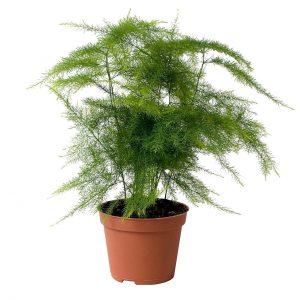 سرخس مارچوبه ای گیاهی با برگ های شبیه شوید است که در گل فروشی ها معمولا برای تزیین گل استفاده می شود. این گیاه به نور زیاد یا متوسط برای رشد بهتر نیاز دارد اما از آن جا که عاشق رطوبت حمام است می توانید در حمام هایی که پنجره نور گیر دارند از آن استفاده کنید.