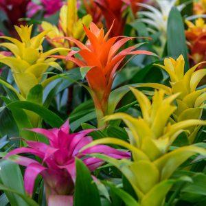 از گیاهان مناسب حمام و سرویس بهداشتی است که حتی در جاهایی از محیط داخلی میتوانند رشد کنند. و شکوفههای با طول عمر بالا داشته باشند که هیچ گیاه دیگری نمیتواند. گلهای بسیار زیبای این گیاه در زمستان به رنگ زرد، صورتی یا قرمز هستند که تا چندین هفته در شرایط داخلی حمام و سرویس بهداشتی ماندگاری دارند. این نوع گیاهان اپیفیت (Epiphytic) هستند یعنی اکثر رطوبت و مواد غذایی مورد نیاز خود را به جای خاک از هوا میگیرند. باید در حمام و سرویس بهداشتی تهویه خوبی قرار دهید. و کود مورد استفاده برای آنها با کود گیاه ارکیده دقیقا یکسان است. در روز به چندین ساعت نور غیر مستقیم یا فیلتر شده خورشید نیاز دارند. با داشتن این گیاهان در فضای داخلی حمام و سرویس بهداشتی عاشق آنها خواهید شد.