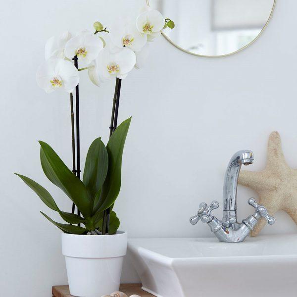 ارکیده شاپرکی یا فالانوپسیس (Phalaenopsis) نام یکی از سردههای ارکیده است. معمولاً حداقل یکبار در سال میتوانند گل بدهد اندازهٔ گلهای فالانوپسیس از قطر ۵ سانتیمتر تا 14 سانتیمتر متغیر است. رنگ گلها بسیار متنوع است و رنگ سفید، ارغوانی، بنفش، ارغوانی رگهدار، صورتی، زرد و ترکیبی از سفید و صورتی برخی از رنگهای آن را تشکیل میدهند. فالانوپسینها گیاهانی سایه دوست حساب میشوند. به این گیاه یا ارکیدهٔ شبپرهای یا ارکیدهٔ پروانهای هم گفتهاند. نگهداری ارکیده نباید در برابر نور مستقیم آفتاب قرار بگیرد. شیشه پنجره فیلتر خوبی برای نور آفتاب است. برای آب دادن کافیست گلدان را هر هفت تا ده روز یک بار فقط چند ثانیه در ظرف آب باران یا آب مقطر (از آب گچ دار لوله کشی و آب باران اسیدی کلان شهرها استفاده نشود) فروکرده و پس از چکیدن آب سر جایش قرار دهیم. ساقههایی را که دیگر گل و غنچه ندارند میبایستی در مقطع ۲ «گره» (محل سابق رویش گل) بالاتر از ریشه برید تا ساقه دوباره رشد کرده و گل بدهد. این کار را مصرفکننده عادی میتواند تقریباً دو نوبت انجام دهد... بار سوم بهتر است شاخه از از پایین بریده شود، آنگاه گیاه شش ماه بعد ساقه جدید تولید میکند. گلدان و خاک ویژه ارکیده بهتر است هر دو سال تعویض شود. ارکیده احتیاج به کود ویژه دارد. با قرار دادن این گل زیبا در حمام میتوانید علاوه بر زیبایی و لطافت، ظاهری متفاوت و لوکس به آن بدهید. ارکیده را لبه پنجره حمام قرار دهید تا نور غیرمستقم کافی را بدون آنکه به برگ هایش آسیبی برسد، دریافت کند. رطوبت موجود در حمام شرایط محیط طبیعی گیاه را منعکس میکند. ارکیده گل جمع و جوری است و برای فضاهای کوچک بسیار مناسب است. میتوانید ارکیده را در کنار سینک و یا کنار وان قرار دهید.