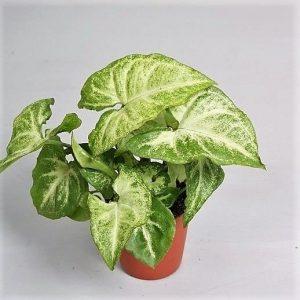 """2-سینگونیوم آریتوم گیاه سینگونیوم آریتوم به گیاه """"پنج انگشتی"""" معروف است. این اسم برگرفته از ظاهر متفاوت آنست. آریتوم یک تنه اصلی در مرکز خود دارد که حدود 20 سانتی متر رشد میکند، به این تنه، دو ساقه متوسط در بالا و دو ساقه کوچک در پایین متصل میشود. در مجموع شد پنج عدد ساقه کوچک و بزرگ! سینگونیوم آریتوم فانتزی رنگهای متنوعی مثل سفید و کرم رنگ دارد معرفی گیاه سینگونیوم آریتوم سینگونیوم آریتوم 3-سینگونیوم پیکانی گیاه سینگونیوم پیکانی، یک نوع معمولی و رایج از سینگونیومهاست. برگهای سبزرنگی دارد که به دلیل شباهت آنها به نوک پیکان، به سینگونیوم پیکانی معروف شده است. سطح این برگهای سبز را رگههای کرم رنگی تزیین کرده است. او کمی شبیه به سینگونیوم پودوفیلوم """"پیکسی"""" و همانطور جمع و جور و پرپشت است، اما به نظر میرسد که تنوع کمتری نسبت به پیکسی دارد. سینگونیوم اریتروفیلوم نوع دیگری از سینگونیومهای رایج است، رشد آرامی دارد و یک گیاه همیشه سبز محسوب میشود. برگهای او هم شبیه به پیکان تیراندازی است. سینگونیوم اریتروفیلوم جوان، ساقه باریکی دارد که با رشد گیاه، نازک و ظریفتر میشود. 4-سینگونیوم ولوزیانوم( Vellozianum) گیاه سینگونیوم ولوزیانوم( Vellozianum)، نوعی دیگر از سینگونیوم است که در طبیعت بکر برزیل دیده میشود. این گیاه در آغاز رشد شبیه به سینگونیوم پدوفیلوم است، اما با گذر زمان و رشد بیشتر، باریکتر و بلندتر از حالت اولیه میشود. سینگونیوم آگوستاتوم (آلبولیناتوم)، برگهای سه گوشی دارد .برگ جوان او حدودا 5*7 سانتی متر و برگ بالغ، حدودا 20*20 سانتی متر است. این برگها سبز رنگ هستند، و اگر کاملا سالم باشند در وسط ساقههای متصل به تنه، ردههایی از رنگ سفید دیده میشود. سینگونیوم """"Wendlandii"""" متعلق به کشور کاستاریکاست. برگهای اصلی آن کاملا سبز است ولی باقی برگها رگههایی از رنگ سفید دارند. این تنوع رنگ و طرح در گیاه جوانی که در آغاز رشد خود است، به خوبی دیده میشود. معرفی گیاه سینگونیوم ولوزیانوم سینگونیوم ولوزیانوم 5-سینگونیوم """"Hoffmannii"""" گیاه سینگونیوم """"Hoffmannii"""" یک گیاه همیشه سبز است که از کاستاریکا سرچشمه گرفته است. آن گیاه قوی و تنومندی است. ساقه بالغ این گیاه، حدود 15 سانتی متر رشد میکند که البته اگر او را هرس نکنید، تا 30 سانتی متر هم رشد خواهد کرد. رنگ برگهای آن چیزی بین سبز و خاکستر"""